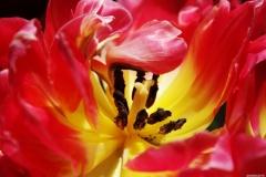 Aufgeblühte-Tulpe